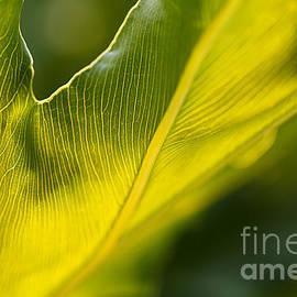 Monstera Deliciosa Leaf Natures Design by Joy Watson
