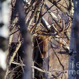 Moose hide and seek by Jeff Swan