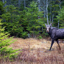 Moose in the Rain along the Kancamagus Highway in New Hampshire by William Dickman