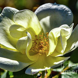 Morning Beauty - Knock Out Rose by Cindy Treger
