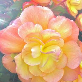 Morning Begonia 3 by Shannon Taggart