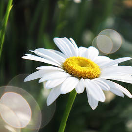Morning Daisy by Laura Blumenstiel