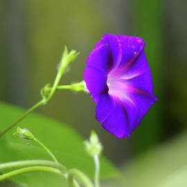 Morning Dew on the Morning Glory by Kathy Birkett