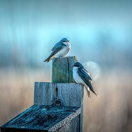 Morning Light Swallows by Pamela Dunn-Parrish
