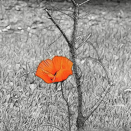 Morning Poppy by Maciek Froncisz