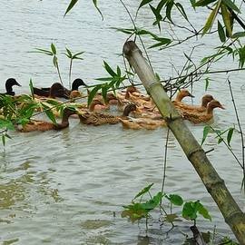 Most exotic rare scene of ducks swimming in the river by Nazia Chowdhury