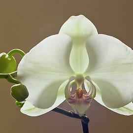 Moth orchid Phaelanopsis by Robert Murray