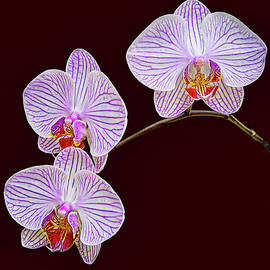 Moth Orchids 2 by Marcia Colelli