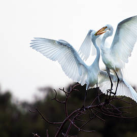 Adult Egret Feeding Juvenile by David Lunde
