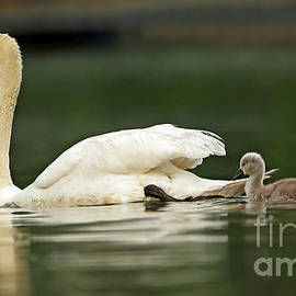 Mother Mute Swan and Cygnet 124 by Steve Gass