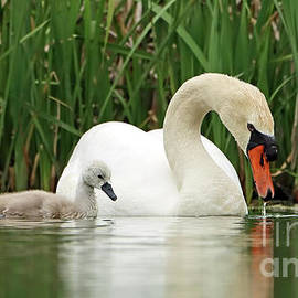 Mother Mute Swan and Cygnet 380 by Steve Gass