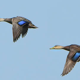 Mottled Ducks Flight by Jerry Griffin