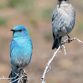 Mountain Bluebird Couple by Mike Dawson