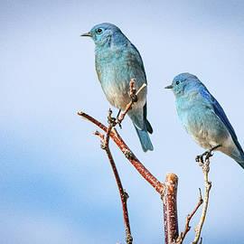 Mountain Bluebirds by Janis Knight