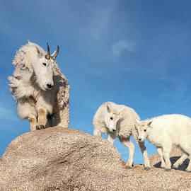 Mountain Goat Family by Judi Dressler