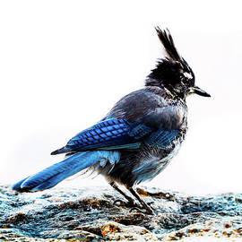 Mountain Jay Portrait by Garrick Besterwitch