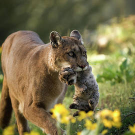 Mountain Lion and kitten by Wildlife Fine Art