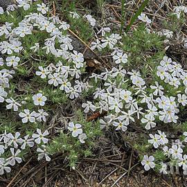 mountain phlox, El Dorado National Forest, California, U.S.A.  by PROMedias Obray