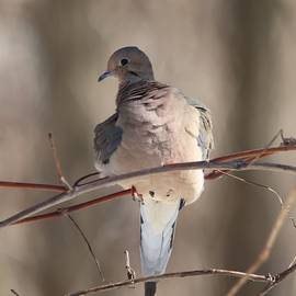 Mourning Dove Portrait by Marlin and Laura Hum