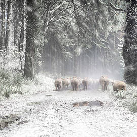 Moving Sheep Along a snowy Tamar Valley, by Maggie Mccall