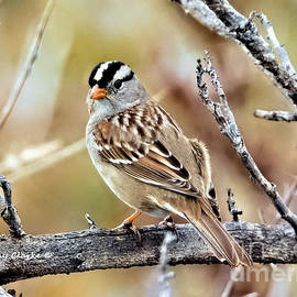 Mr. White Crowned Sparrow by Bunny Clarke