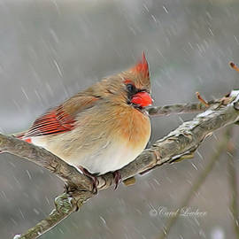 Mrs Cardinal on a snowy day by Carol Lowbeer