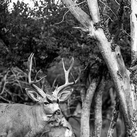 Mule Deer Buck in the Woods BW