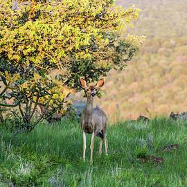 Mule Deer Doe 001475 by Renny Spencer