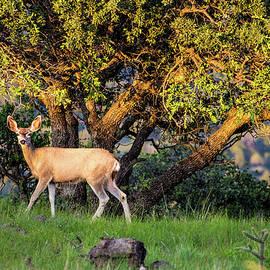 Mule Deer Doe 001502 by Renny Spencer