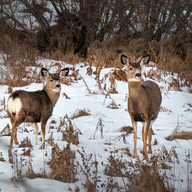 Mule Deer Doe And Yearling by Karen Rispin