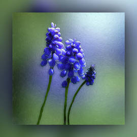 Muscari - Grape Hyacinth by Leslie Montgomery