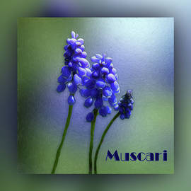 Muscari - Grape Hyacinth - Named by Leslie Montgomery