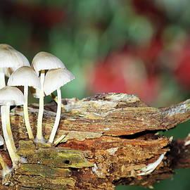Mushrooms on the wood by Alex Nikitsin
