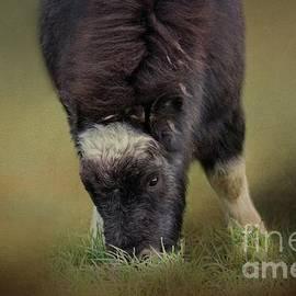Musk Ox Baby-2 by Eva Lechner