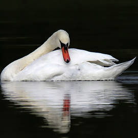 Mute Swan Beauty 650 by Steve Gass