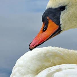 Mute Swan Close-up by Lyuba Filatova
