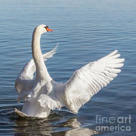 Mute Swan Full Display Conductor by Barbara McMahon