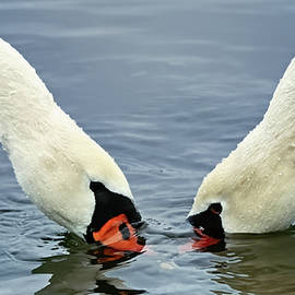 Mute Swans 72, Indiana by Steve Gass