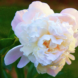 My heart for a Peony by Susan Buscho