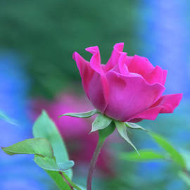My Summer Rose Unaltered by Mary Machare