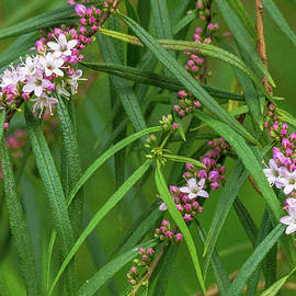 Myoporum batae by Bette Devine