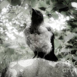 Mystic Young Hooded Crow, Corvus cornix by Taina Sohlman