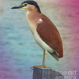 Nankeen Night Heron. by Trudee Hunter