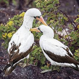 Nasca Boobies Grooming Galapagos Islands by Joan Carroll