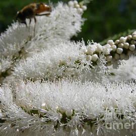 Native Melaleuca hugelii, Arilka, Mt. Pleasant, Adelaide Hills. Australia. by Rita Blom