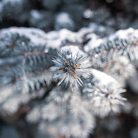 Nature Photography - Snowy Evergreen  by Amelia Pearn