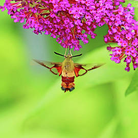 Nectaring Moth by Debbie Oppermann