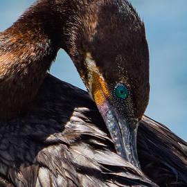 Neotropic Cormorant Preening by Bonny Puckett