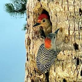 Nesting Begins for the Red Bellied Woodpecker Pair  by Barbie Corbett-Newmin
