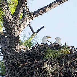 Nesting Eagles 2020 by Deborah Benoit